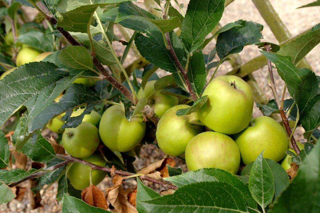Benéficos da maçã para a Saúde