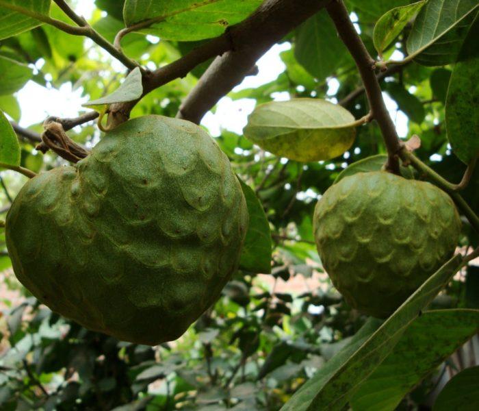 Anona superalimento e anti-cancerígena – fruto tropical