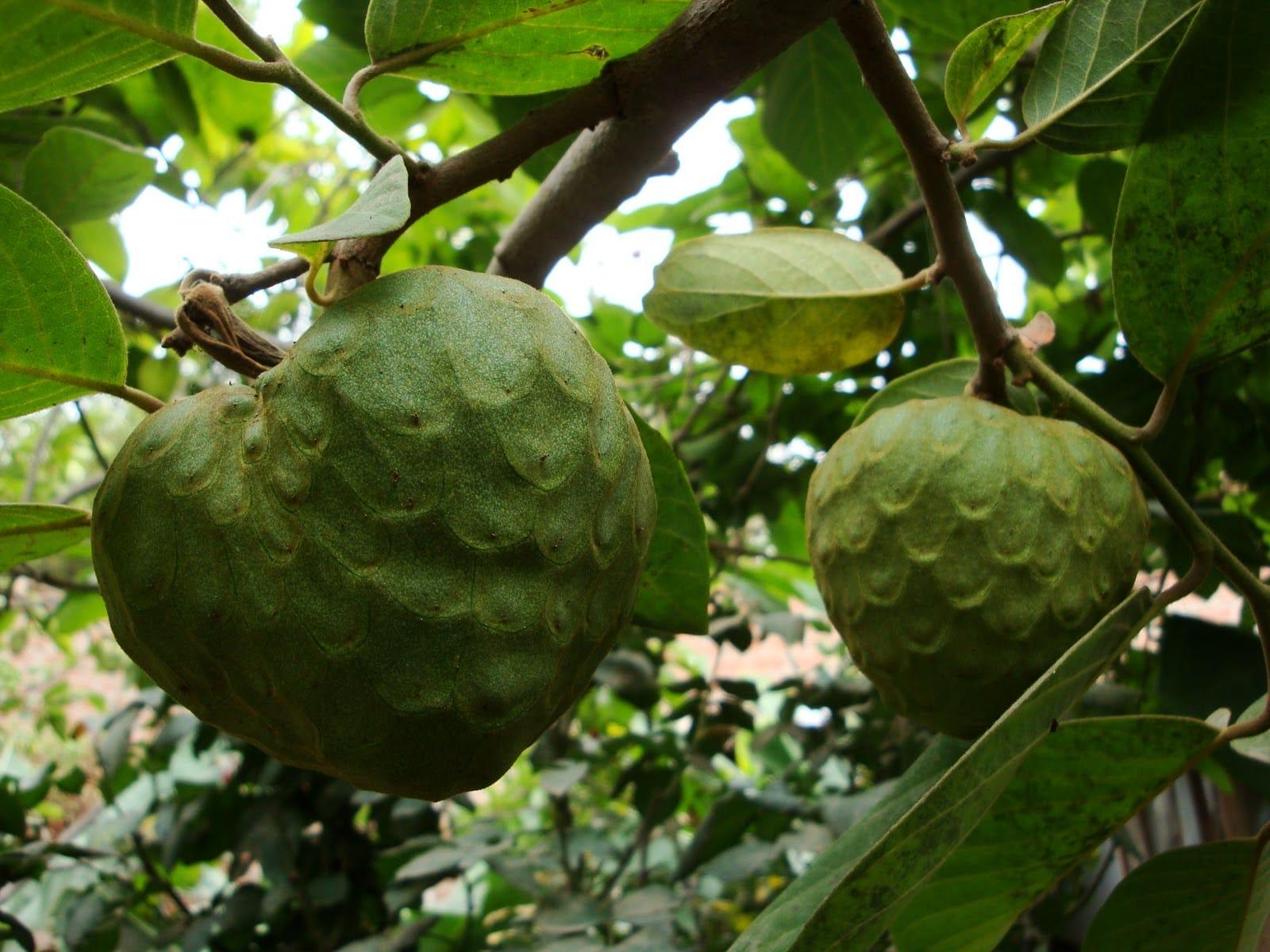 Anona superalimento e anti-cancerígena - fruto tropical 1
