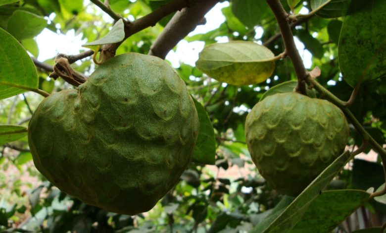anona superalimento e anti cancerigena fruto tropical