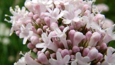 Photo of Valeriana – Calmante natural